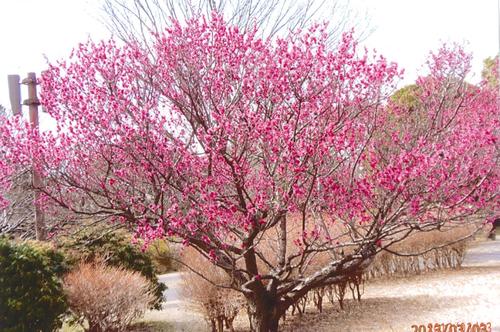 1月1日に家の近くの公園の中に昨年12月頃から咲き始めた梅の花が咲いていました。 この写真は昨年写した桃の花です。